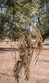 Xylella fastidiosa - olivier malade bacterie symptomes