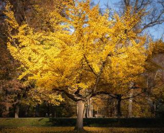 arbre au feuille feuillage jaune or