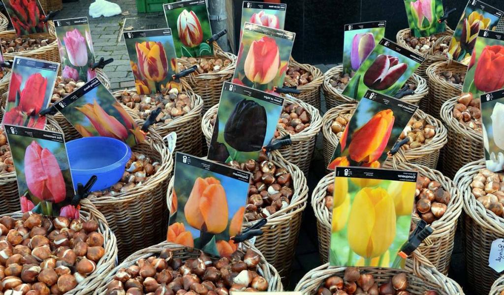 choisir bulbe tulipe