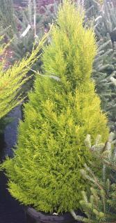 Plantation du cupressus macrocarpa goldcrest - cyprès de lambert