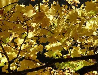 erable feuille jaune or