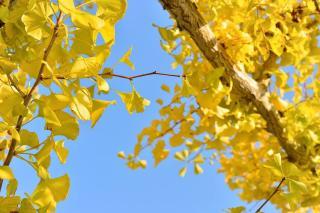 gingko biloba automne feuilles jaune or