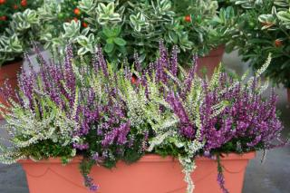 jardiniere potee balconniere bruyere calluna