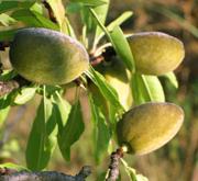 Amandier plantation entretien taille et maladies for Taille de l abricotier