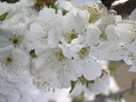 cerisier_en_fleurs.jpg