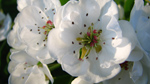 fleur_poirier
