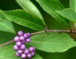 Callicarpa, arbre aux bonbons