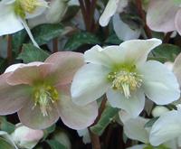 plantes et fleurs qui fleurissent l 39 hiver au jardin. Black Bedroom Furniture Sets. Home Design Ideas