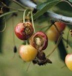 Traitement: La mouche de la cerise