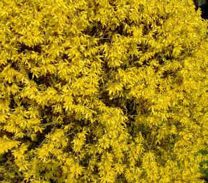 forsythia_flower