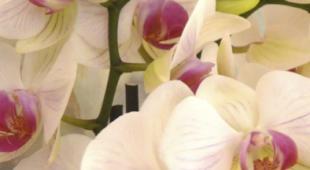 Flyer Orchidée 2018 recto