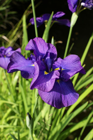iris plantation et entretien des fleurs. Black Bedroom Furniture Sets. Home Design Ideas